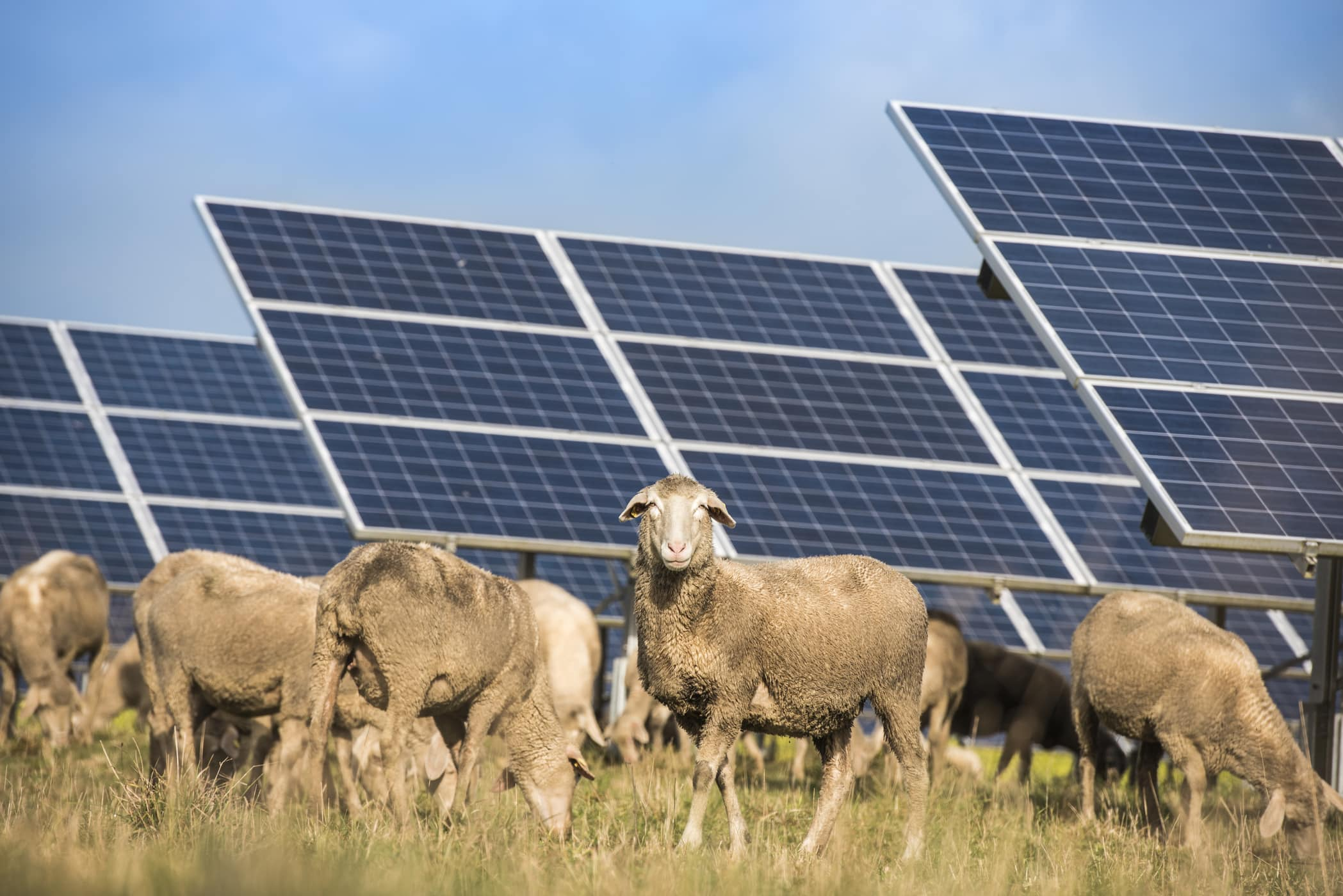 Sheep grazing near solar panel