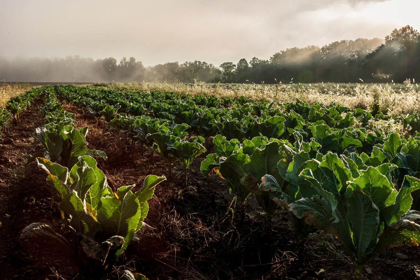 Crops at Millers Crossing