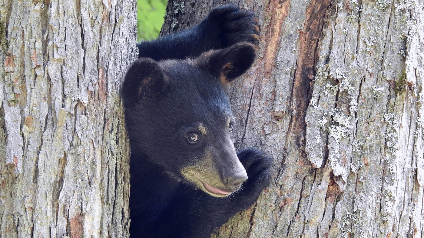 Black Bear (Photo: Jim Mulhaupt on Flickr ((CC BY-NC-ND 2.0))