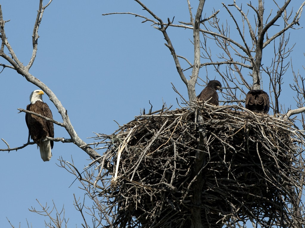 Monitored Bald Eagle Nest in Sanborn County S.D.
