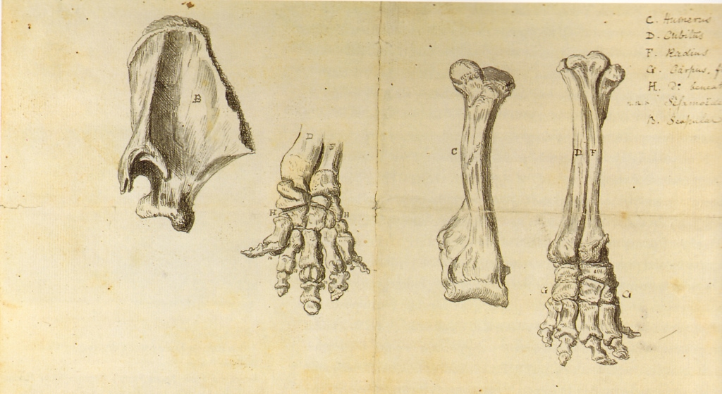 Working Sketch of the Mastodon by Rembrandt Peale