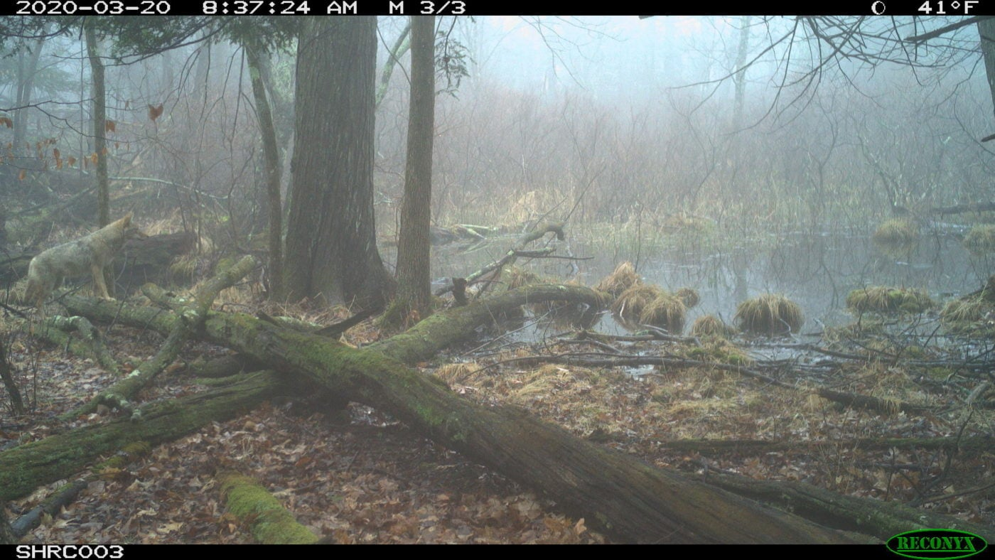 Coyote on trail cam at Shaupeneak Ridge