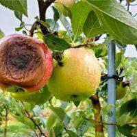 Apple Bitter Rot