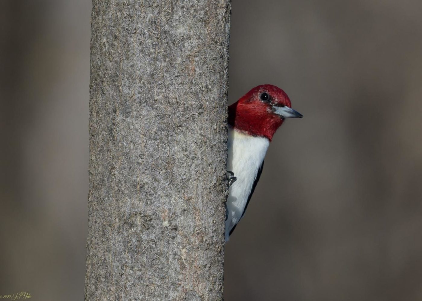 Red-Headed Woodpecker at Esopus Meadows Preserve